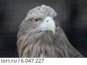 Голова белоклювого орла в Ленинградском зоопарке (2014 год). Редакционное фото, фотограф Дмитрий Неумоин / Фотобанк Лори