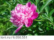 Купить «Розовый пион (лат. Paeonia)», эксклюзивное фото № 6050551, снято 13 июня 2014 г. (c) Елена Коромыслова / Фотобанк Лори