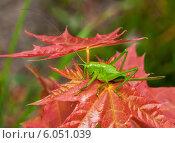 Саранча сидит на листе клёна. Стоковое фото, фотограф Игорь Низов / Фотобанк Лори