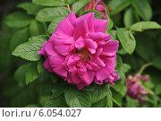 Купить «Красивая малиновая роза (лат. Rosa)», эксклюзивное фото № 6054027, снято 7 июня 2014 г. (c) lana1501 / Фотобанк Лори
