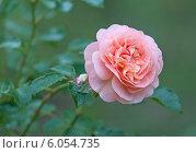 Купить «Розовая роза», эксклюзивное фото № 6054735, снято 28 июня 2014 г. (c) Svet / Фотобанк Лори