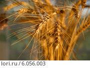 Рожь. Стоковое фото, фотограф Наталья Есипова / Фотобанк Лори