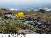 Купить «Мак мелкоплодный на камнях», фото № 6057075, снято 12 июля 2013 г. (c) Мария Волова / Фотобанк Лори