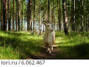 Купить «Козы в лесу летом», фото № 6062467, снято 12 июля 2012 г. (c) Наталия Ромашова / Фотобанк Лори