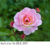 Раскрывшаяся розовая роза. Стоковое фото, фотограф Svet / Фотобанк Лори