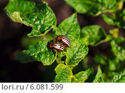 Колорадский жук. Стоковое фото, фотограф Константин / Фотобанк Лори