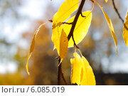 Золотые листья. Стоковое фото, фотограф Марина Зырянова / Фотобанк Лори