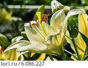 Купить «Жёлтые лилии растут в саду», эксклюзивное фото № 6086227, снято 3 июля 2014 г. (c) Игорь Низов / Фотобанк Лори