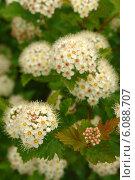 Купить «Цветущий мелкими белыми цветами кустарник «Пузыреплодник калинолистный»», фото № 6088707, снято 30 июня 2007 г. (c) Dmitry Domashenko / Фотобанк Лори