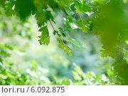 Купить «Зеленая листва», фото № 6092875, снято 5 июля 2014 г. (c) Юлия Бурдакова / Фотобанк Лори