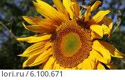 Купить «Подсолнух крупным планом, обдуваемый ветром», видеоролик № 6100671, снято 6 июля 2014 г. (c) V.Ivantsov / Фотобанк Лори