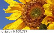 Купить «Подсолнух крупным планом, обдуваемый ветром», видеоролик № 6100787, снято 6 июля 2014 г. (c) V.Ivantsov / Фотобанк Лори