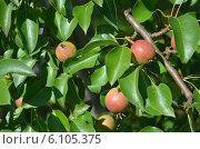 Яблоня с яблочками. Стоковое фото, фотограф Игорь Гордеев / Фотобанк Лори