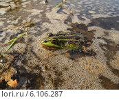 Лягушка на болоте. Стоковое фото, фотограф Евгений Мостяев / Фотобанк Лори