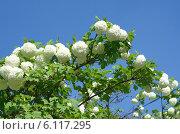 Купить «Декоративная калина Бульденеж, или Снежный шар (лат. Viburnum opulus var sterile) на фоне голубого неба», эксклюзивное фото № 6117295, снято 20 мая 2014 г. (c) Елена Коромыслова / Фотобанк Лори