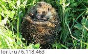 Купить «Ежик спит в траве», видеоролик № 6118463, снято 2 июля 2014 г. (c) Михаил Коханчиков / Фотобанк Лори
