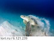 Морская черепаха. Стоковое фото, фотограф Елена Воронова / Фотобанк Лори
