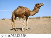 Купить «Верблюд в пустыне», фото № 6123199, снято 10 марта 2014 г. (c) Наталия Евмененко / Фотобанк Лори