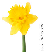 Купить «Daffodil flower or narcissus isolated on white background cutout», фото № 6127275, снято 9 мая 2013 г. (c) Natalja Stotika / Фотобанк Лори