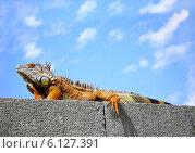 Купить «Большая коричневая игуана сидит на камне на фоне неба и греется на солнце», фото № 6127391, снято 11 августа 2006 г. (c) Несинов Олег / Фотобанк Лори