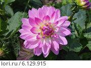 Купить «Соцветие розовой георгины», эксклюзивное фото № 6129915, снято 29 июня 2013 г. (c) Ната Антонова / Фотобанк Лори