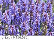 Купить «Шалфей лекарственный (salvia officinalis l)», эксклюзивное фото № 6136583, снято 29 июня 2014 г. (c) lana1501 / Фотобанк Лори
