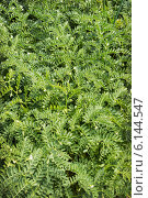 Купить «Растения нута. Июль», фото № 6144547, снято 15 июля 2014 г. (c) Александр Романов / Фотобанк Лори