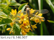 Купить «Стрекоза и комары, сидящие на цветке», фото № 6146907, снято 15 июля 2014 г. (c) Андрей Забродин / Фотобанк Лори