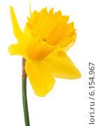 Купить «Daffodil flower or narcissus isolated on white background cutout», фото № 6154967, снято 9 мая 2013 г. (c) Natalja Stotika / Фотобанк Лори