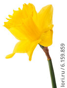 Купить «Daffodil flower or narcissus isolated on white background cutout», фото № 6159859, снято 9 мая 2013 г. (c) Natalja Stotika / Фотобанк Лори