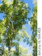 Купить «Березовый лес утром», фото № 6164455, снято 21 июля 2014 г. (c) Григорьев Владимир / Фотобанк Лори