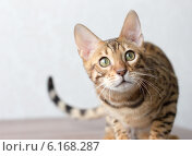 Портрет кошки бенгальской породы. Стоковое фото, фотограф Viacheslav Martynov / Фотобанк Лори