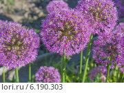 Луковый цвет. Стоковое фото, фотограф Ириша Карбышева / Фотобанк Лори