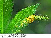 Репешок обыкновенный, или Репешок лекарственный (Agrimonia eupatoria) — многолетнее травянистое растение,  семейства Розовые. Цветочная кисть и лист репешка. Стоковое фото, фотограф Евгений Мухортов / Фотобанк Лори