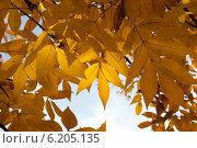 Листья клёна. Стоковое фото, фотограф Анастасия Долгова / Фотобанк Лори