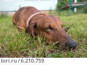 Купить «Такса спит на траве», фото № 6210759, снято 29 июня 2014 г. (c) Pukhov K / Фотобанк Лори