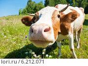 Купить «Любопытная корова на лугу в солнечный летний день (голова крупным планом)», фото № 6212071, снято 27 июля 2014 г. (c) Екатерина Овсянникова / Фотобанк Лори