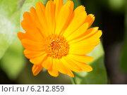 Цветок календулы (ноготки) Calendula. Стоковое фото, фотограф Сергей Шолохов / Фотобанк Лори