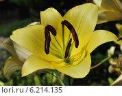 Купить «Желтая лилия», эксклюзивное фото № 6214135, снято 25 июля 2014 г. (c) lana1501 / Фотобанк Лори