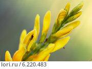 Дрок красильный или Дрок кровожадный, цветок. Стоковое фото, фотограф Anton Kozyrev / Фотобанк Лори