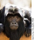 howler monkey. Стоковое фото, фотограф Яков Филимонов / Фотобанк Лори