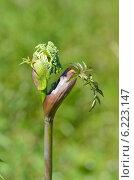 Купить «Бутон зонтичного растения», фото № 6223147, снято 12 июля 2014 г. (c) Овчинникова Ирина / Фотобанк Лори