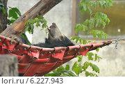 Купить «Медведь - губач  (Melursus ursinus) спит в гамаке в Московском зоопарке», фото № 6227943, снято 3 августа 2014 г. (c) Валерия Попова / Фотобанк Лори