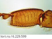 Нога медоносной пчелы под микроскопом. Стоковое фото, фотограф Сергей Эстрин / Фотобанк Лори