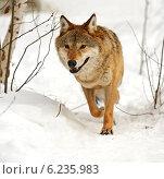 Купить «Волк бежит по снегу», фото № 6235983, снято 3 февраля 2014 г. (c) Эдуард Кислинский / Фотобанк Лори
