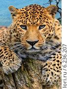 Купить «Портрет леопарда в дикой среде обитания», фото № 6236207, снято 5 января 2012 г. (c) Эдуард Кислинский / Фотобанк Лори