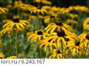 Купить «Золотистая Рудбекия на поле», фото № 6243167, снято 19 июля 2014 г. (c) Рамиль Усманов / Фотобанк Лори