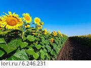 Купить «Поле цветущих подсолнухов на фоне синего неба в солнечный день», фото № 6246231, снято 14 декабря 2018 г. (c) Mikhail Starodubov / Фотобанк Лори