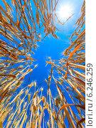 Купить «Спелые желтые колосья на фоне неба, вид снизу», фото № 6246259, снято 22 ноября 2019 г. (c) Mikhail Starodubov / Фотобанк Лори