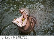 Обыкновенный бегемот, крупный план, широко открытая пасть. Стоковое фото, фотограф Анна Королева / Фотобанк Лори